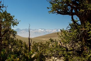 Ancient Bristlecone-4129
