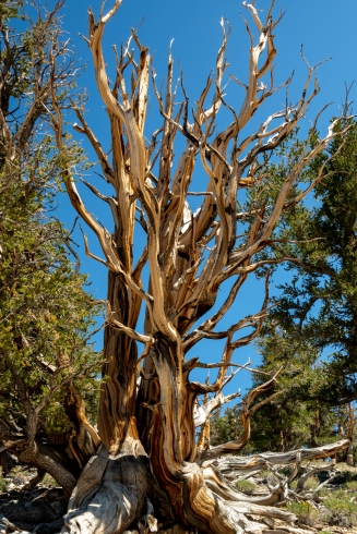 Ancient Bristlecone-4130