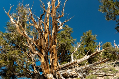 Ancient Bristlecone-4132