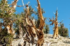 Ancient Bristlecone-4139