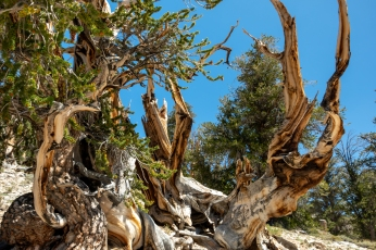 Ancient Bristlecone-4143