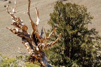 Ancient Bristlecone-4168