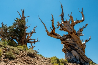 Ancient Bristlecone-4171