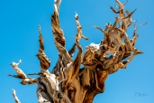 Ancient Bristlecone-4176