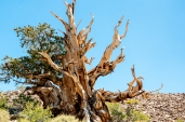 Ancient Bristlecone-4177